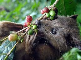 World Most Expensive Coffee Make from Civet's Poop